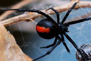 Dubbo Spider Treatments