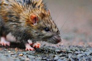 Dubbo Rat Control, Dubbo Mouse Control