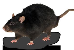 Roof Rat, AKA Black Rat