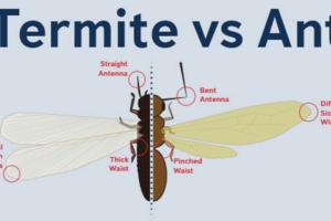 Termite vs Ant